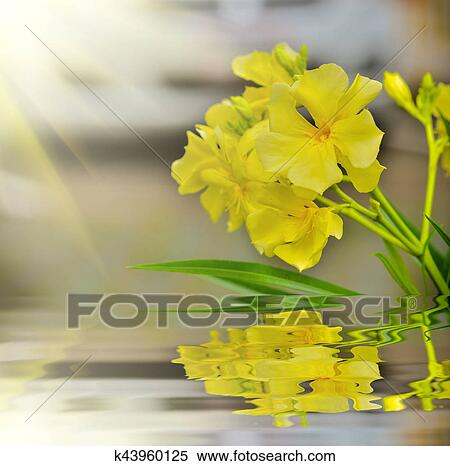 stock image of nerium oleander k43960125 search stock photos
