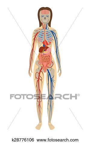 Clip Art - ilustración, anatomía humana, de, mujer, blanco, plano de ...