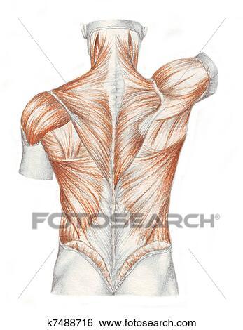 Colección de ilustraciones - anatomía humana, -, músculos, de, el ...
