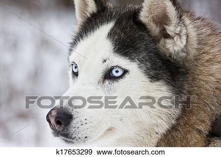 Portrait Of A Beautiful Blue Eyed Siberian Husky Dog