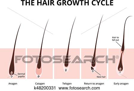 Clipart Of Hair Structure K48200331 Search Clip Art Illustration