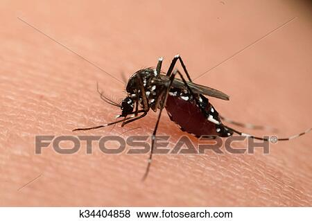 Macro di zanzara succhiare sangue archivio fotografico