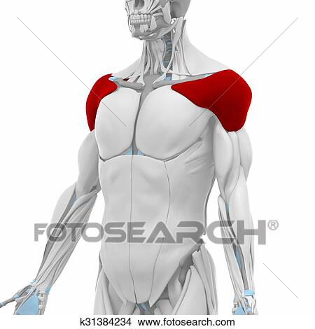 Drawings Of Deltoid Muscles Anatomy Map K31384234 Search Clip
