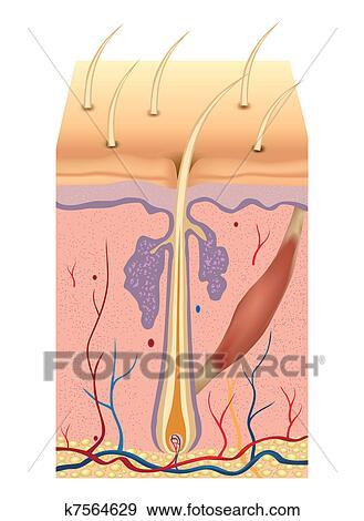 Clip Art of Human hair structure anatomy illustration. Vector ...