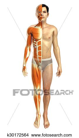 Drawings of male body anatomy with muscles k30172564 - Search Clip ...