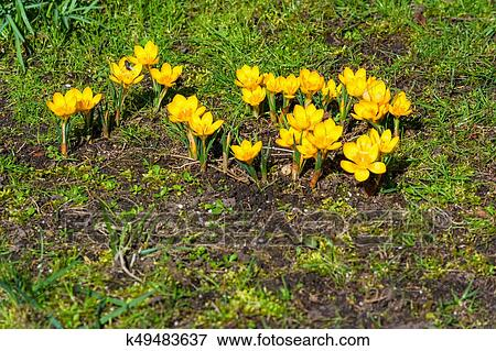 Crocus flowers growing in spring from the road pavement