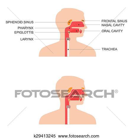 Clipart - nariz, garganta, anatomía k29413245 - Buscar Clip Art ...