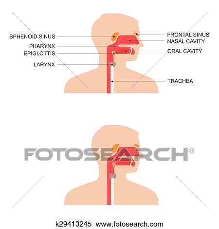 Clipart Of Nose Throat Anatomy K29413245 Search Clip Art