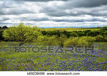 Bluebonnet Field Under Cloudy Skies Near Ennis Texas Stock