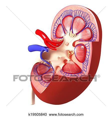 Colección de ilustraciones - anatomía, de, riñón, corte, sección ...