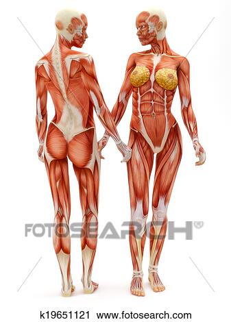 female musculoskeletal system front and back isolated on a white background