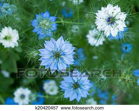 Garten blumen blau  Bild - nigella, sativa, blumen, -, kraut, blau, weiß, oder, rosa ...