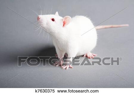 ネズミ 縁起 白 ねずみ年の人は必見!ねずみは幸運の生き物なんです。