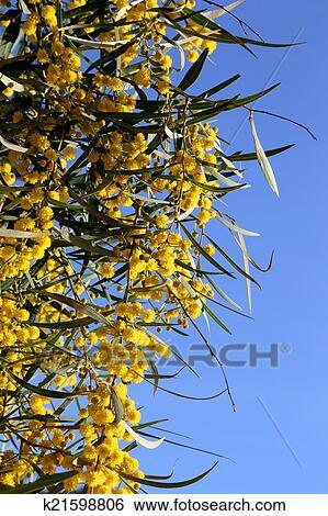 Pianta Fiori Gialli.Ramo Di Mimosa Pianta Con Rotondo Lanuginoso Fiori Gialli