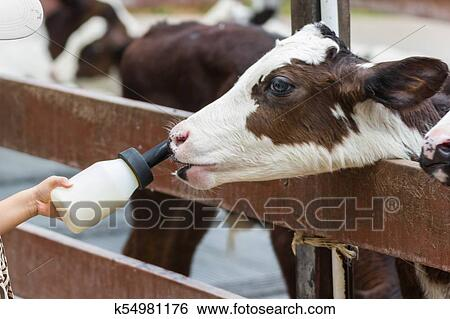 Baby cow feeding on milk bottle by hand man Stock Photograph
