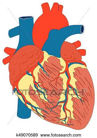 Clip Art - corazón humano, músculo, estructura, anatomía, diagrama ...