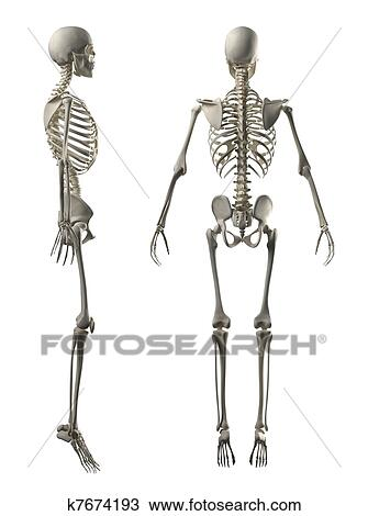 Drawing of Male Full Skeleton Side and Back view k7674193 - Search ...