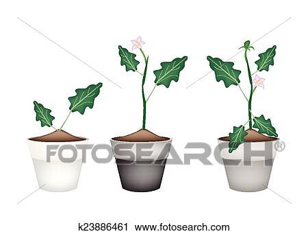 Clipart Of Green Eggplant Tree In Ceramic Flower Pots K23886461