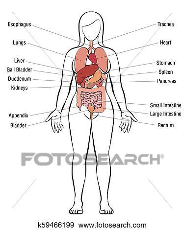 Organos del cuerpo humano mujer