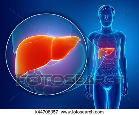 Foto - 3d, render, de, macho, hígado, anatomía k44706357 - Buscar ...