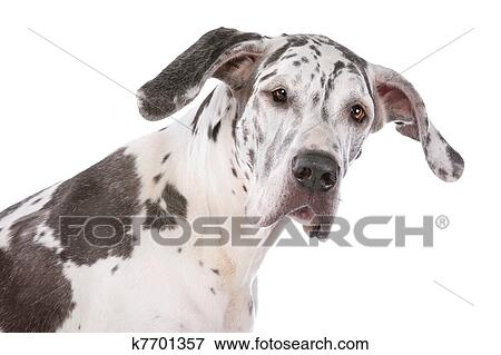 Bild - deutsche dogge, harlekin k7701357 - Suche Stockfotografie ...