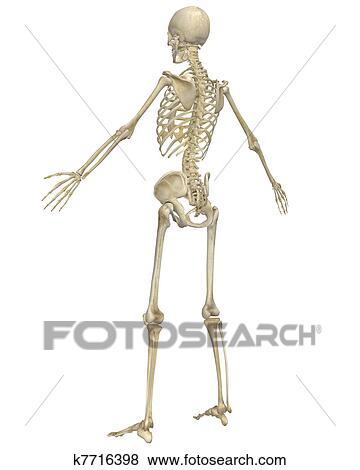 人間の 骨組 解剖学 斜め 後部光景 イラスト K7716398 Fotosearch