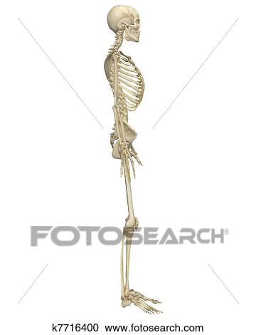 Stock Illustrations Of Human Skeleton Anatomy Side View K7716400