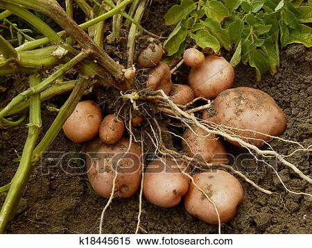 Potato Plant With Rs Digging Up From The Ground