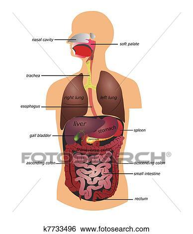 Clip Art - tracto gastrointestinal k7733496 - Buscar Clip Art ...
