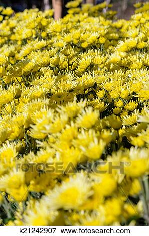 Picture of yellow chrysanthemum flowers garden k21242907 search yellow chrysanthemum flowers garden on doi inthanon mountain in chiang mai province of thailand mightylinksfo