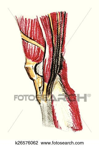Clipart Of Anatomy Of Knee Muscles K26576062 Search Clip Art