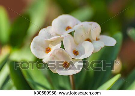 White Euphorbia Milli Flower Stock Photo K30689958 Fotosearch