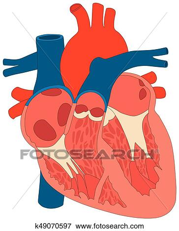 Clip Art of Human Heart Muscle structure Anatomy Diagram k49070597 ...