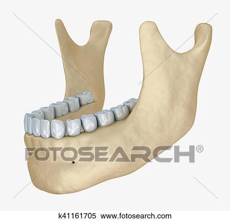 Stock Illustration - senken, kiefer, skelett, und, zähne, anatomy ...