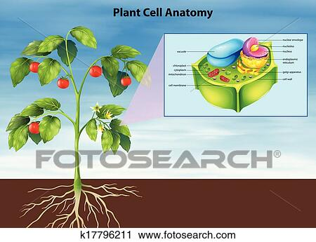Clipart of Anatomy of the plant cell k17796211 - Search Clip Art ...