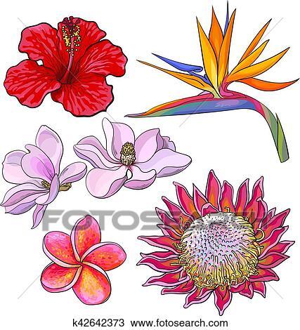 Fleurs Tropicales Hibiscus Protea Plumeria Oiseau Paradis Magnolia Clipart