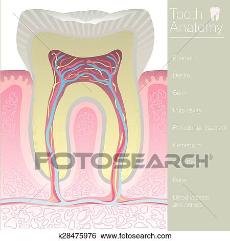 Clip Art Of Tooth Medical Anatomy With Words K28475976 Search