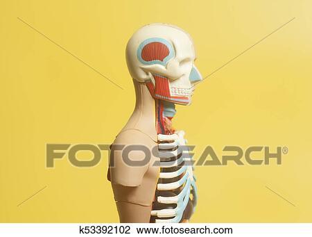 Colección de foto - cuerpo humano, anatomía, modelo k53392102 ...