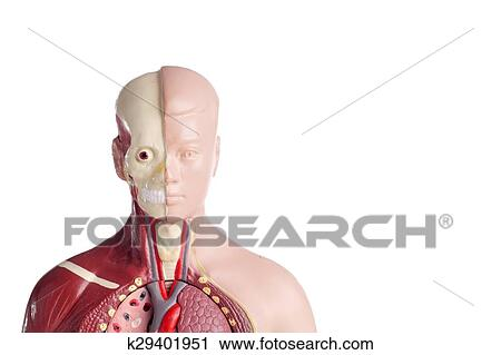 Stock Fotografie - menschliche anatomie, modell k29401951 - Suche ...