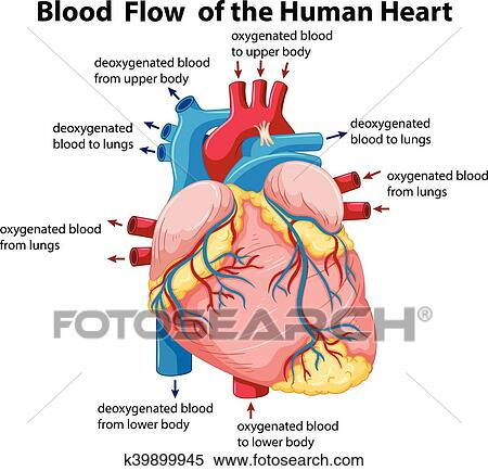 Diagram Showing Blood Flow In Human Heart Clipart