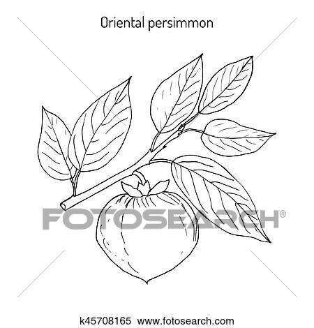 japanese persimmon diospyros kaki clipart k45708165 fotosearch fotosearch