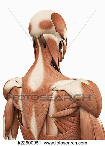 Clipart of the upper back muscles k22500951 - Search Clip Art ...