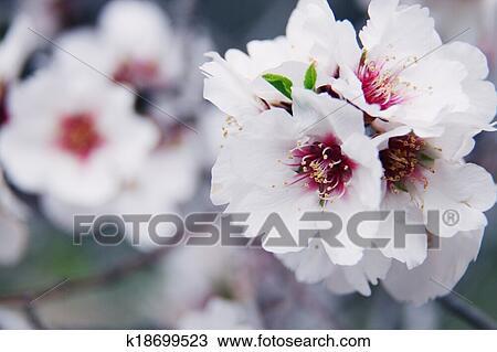 Fiori Bianchi Primavera.Bello Primavera Fiore Di Mandorle Albero Con Fiori Bianchi