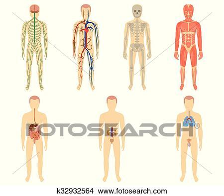 Clipart - conjunto, de, humano, órganos, y, sistemas k32932564 ...