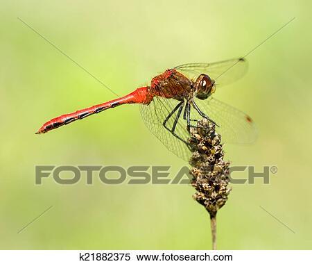 Colección de imágen - rojo-atado, banderín, iii k21882375 - Buscar ...