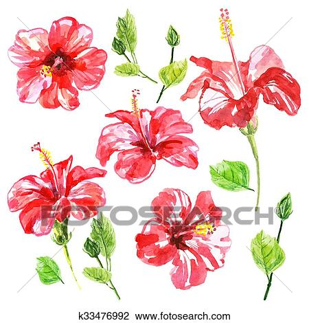 Set Of Red Watercolor Hibiscus Flower Drawing K33476992 Fotosearch