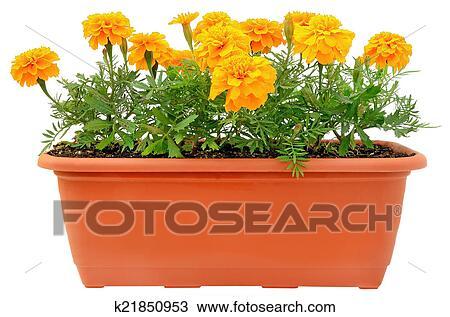 Tagetes Blumen In Balkon Blumentopf Stock Foto