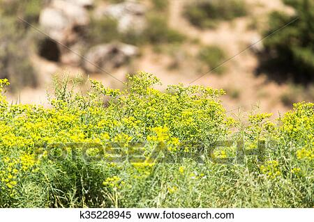 Little Yellow Flowers On A Large Shrub Stock Photography
