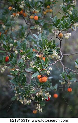 Orange Berries And White Flowers Stock Photo K21815319 Fotosearch