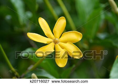 Fiori Gialli Gardenia.Giallo Gardenia Fiore Gardenia Carinata Wallich Archivio